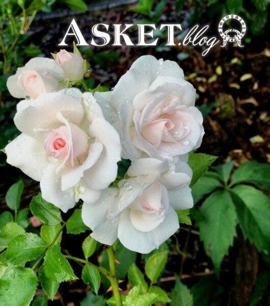 róża aspirin w ogrodzie