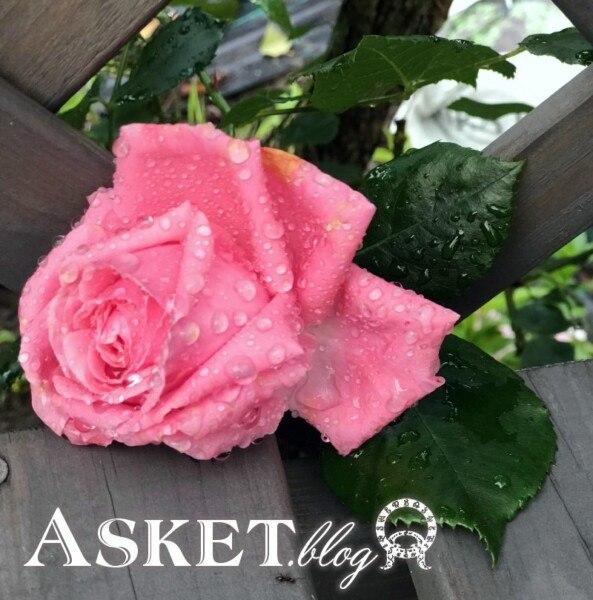 róża pnąca coral dawn